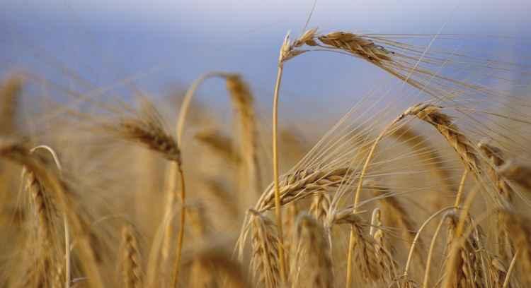Produtos р base de trigo estуo mais caros